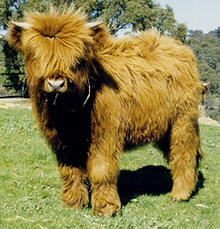 Photo courtesy of Duel M Highland Cattle, www.highlandcattle.com