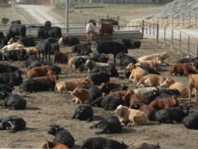 Allendale Releases Cattle on Feed, Cold Storage Estimates