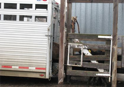 Do's and Dont's For Hauling Cattle Safely